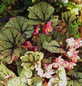 Begonia Rex came out of its summer pot yesterday, leaving the Camellia to brave winter with some Violas as new companions.