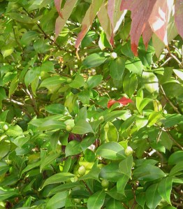Evergreen, Camellia is closely related to plants from which we make tea