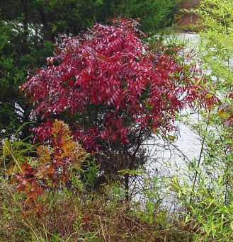 Scarlet Staghorn Sumac on the banks of College Creek