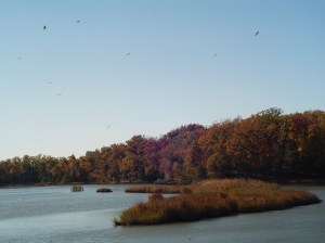 Sea gulls fly inland during rough weather on the coast to find shelter along our creeks and marshes.
