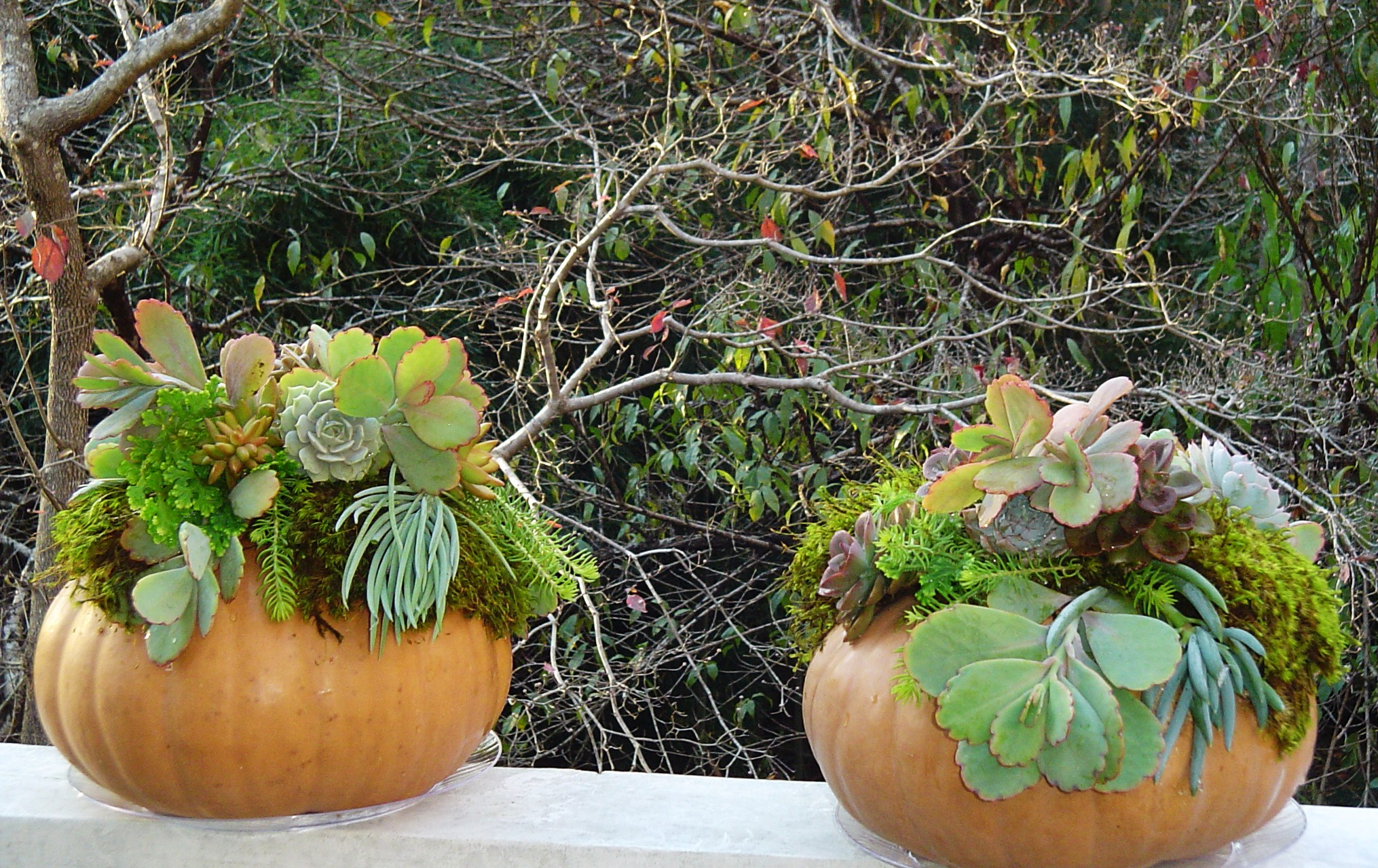 Succulent arrangements on pumpkins forest garden for Garden arrangement