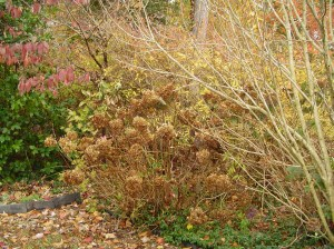 Hydrangea needs to be deadheaded before spring.  Cut carefully above any buds so next season's flowers are left on the shrub.