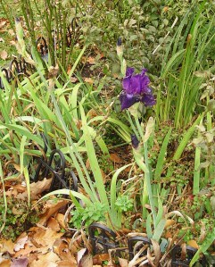"Iris, ""Rosalie Figgee"" will continue to bloom into December.  She'll take a break, and bloom again in the spring."