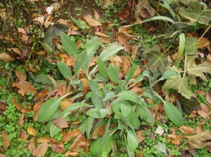 Lambs Ears will stay green through most of the winter.  Remove any dead foliage, and keep tree leaves from accumulating on top of the plant.