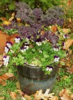 Kale with Violas are untouched by the cold weather
