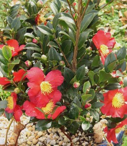 "Camellia, ""Jingle Bells"" on Friday afternoon.  Frost got the flowers, but new buds will open when the weather warms."
