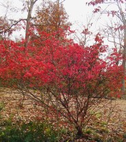 Burning Bush, Euonymus alatus