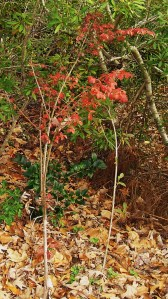 "One of our ""volunteer"" burning bush shrubs, is surviving despite frequent grazing from the deer."