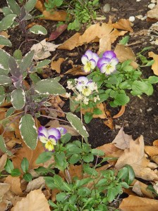 Violas and Sage growing happily in the stump garden earlier this week.