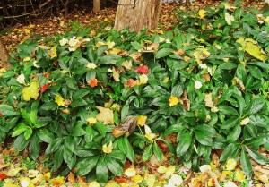 Our patch of Hellebores in late November.  These perennials look good in every season, thrive in dry shade, and floom for several months in late winter and early spring.