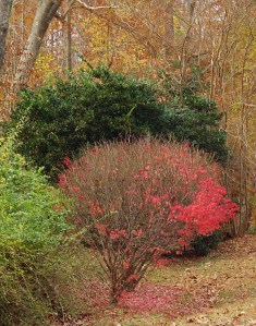 A neighbor's Burning Bush has already lost most of its leaves.
