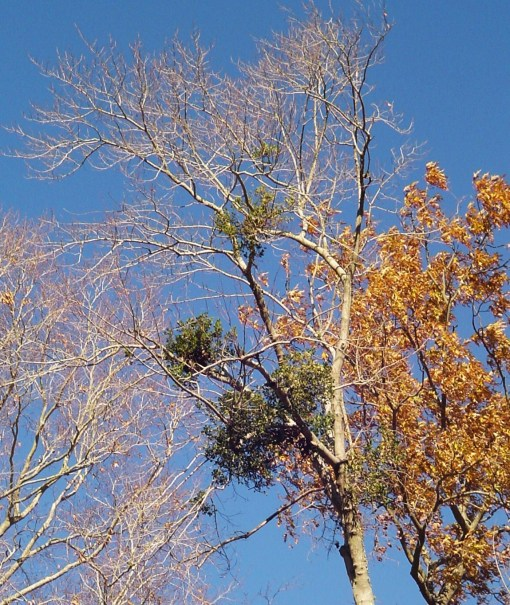 Mistletoe growing in our garden is a welcome sight.  We are happy for its presence and look forward to finding branches blown to the ground.