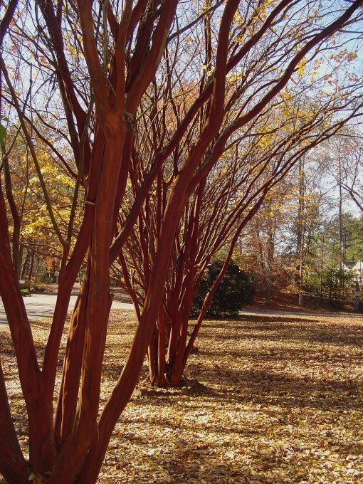 A row of Crepe Myrtles stands near College Creek.