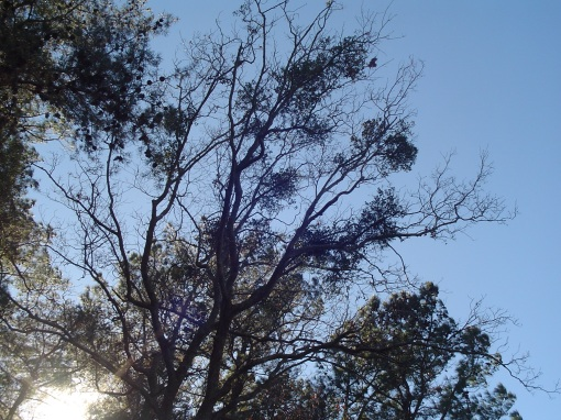 Mistletoe lives in the branches of this tree along the banks of the James River.