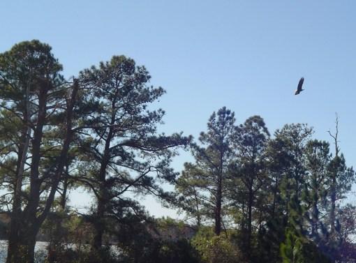 A bald eagle near his nest along the James River.