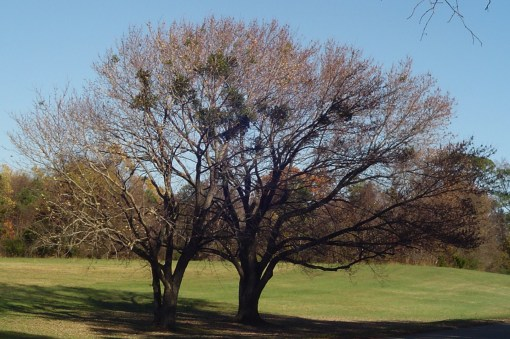 Mistletoe lives peacefully in this pair of trees along the Colonial Parkway.