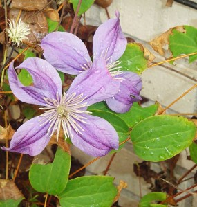 Clematis so far have survived the cold nights and continue blooming.