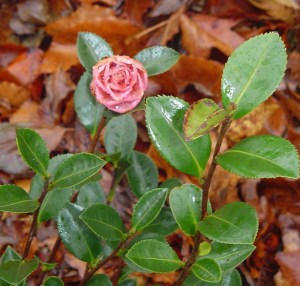 This first bud opened on the Camellia yesterday.