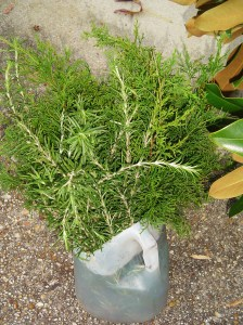 Fresh cut cedar and Rosemary soak in this job of warm water and floral preservative so they are conditioned for the wreath.
