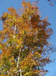 Beech tree at the top of the garden