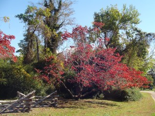 Dogwood, Corunus Florida