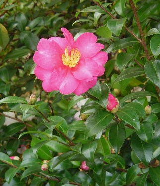 Our latest Camellia to bloom is a lovely shade of deep pink.