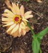 Will this be the last Zinnia of the season?