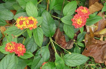 The Lantana just doesn't quit until it gets hit by a hard frost... or two....
