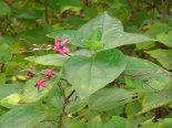 The last of the blue berries on the butterfly tree in the ravine