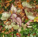 The Begonia under the azaleas loves the cooler weather. She'll need to be dug soon to survive the winter.