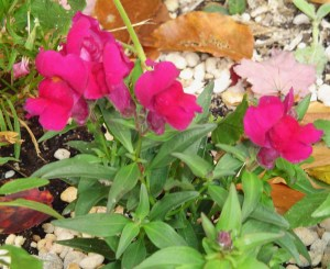 Newly planted snapdragons