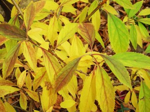 Forsythia leaves, with the buds of next spring's yellow flowers already visible.