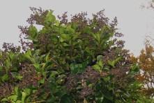 Ligustrum, full of deep purple berries for the birds.