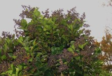 Ligustrum, full of deep purple berries for the birds.
