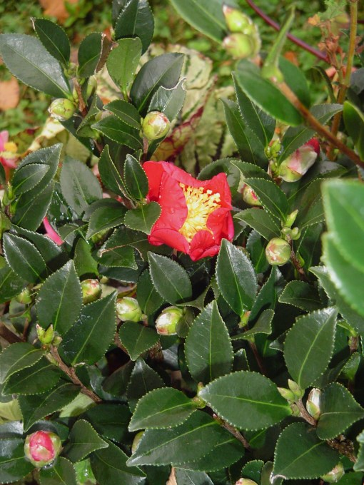 "C. Sasanqua, ""Jingle Bells"" unfolding its first blossom this year."