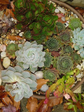 Hens and chicks, Echeveria, can take the cold. Other succulents are more tender and need shelter when it freezes.