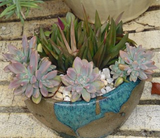 These tender succulents have a sunny spot indoors to survive the winter