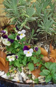 Hardy Violas and Lavender smile brightly through the chill.