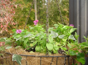 Newly planted basket ready for whatever winter brings.