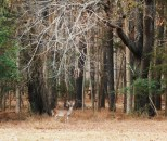 Hungry deer can be found all along the Parkway