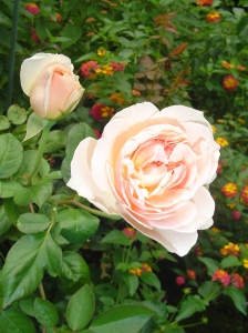 This David Austin rose was new in 2012, and really took off with growth this year.