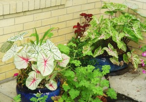 Caladiums puchased as tuers ae economical, an deasy to start indoors.
