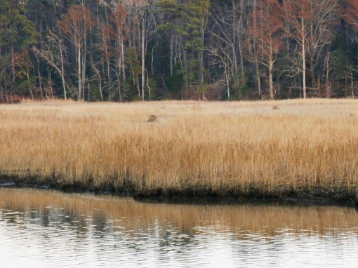 Jamestown Island is surrounded by marsh.  The early colonists didn't know that cattails growing in the marsh can be eaten.