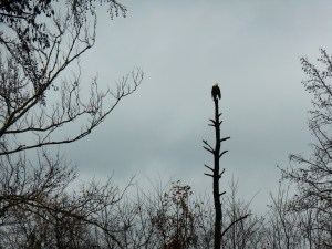 A Bald Eagle perching in a tree only feet away from the Colonial Parkway near Jamestown Island on December 10.