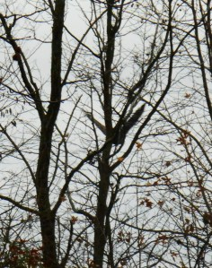 December 10 parkway eagle 023