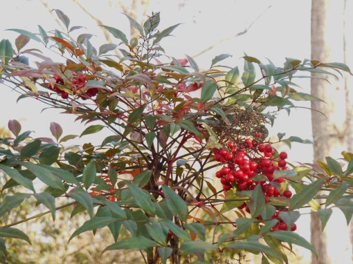 "Nandina, prized for its beautiful winter berries and rouge touched foliage, is consideered a ""thug plant"" by many because it tends to crop up unplanted far from the mother plant."