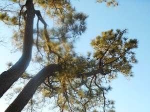 Trees, like this white pine, remain full of cones and pods, rich with seeds.