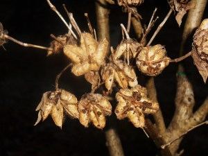 Hibiscus seed pods are open, and seeds ripe for the munching.