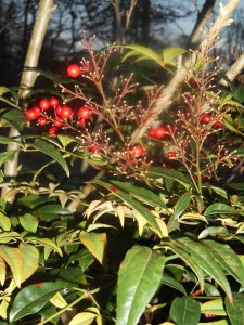 A few Nandina berries remain in the front border.