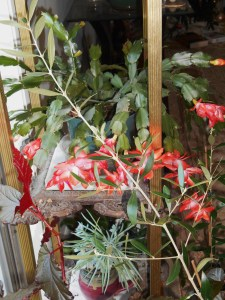 Our very happy Christmas cactus, and an olive tree surviving its first winter.